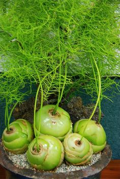Commonly called a 'Sea Onion' this plant should not be eaten ~ it is highly toxic. Photographed here at the San Diego Cactus & Succulent Annual June show in Balboa Park. Photo by Michael Buckner, The Plant Man, San Diego. Rare Plants, Weird Plants, Planting Flowers, Plants, Succulents, Succulents Garden, Cool Plants, Trees To Plant, Unusual Plants
