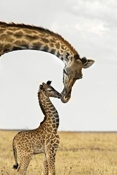 Motherly love. Happy Mother's Day! #giraffe