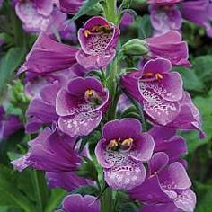 Digitalis 'Dalmation Purple'