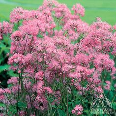 Thalictrum aquilegiifolium (Meadow-rue). Zone: 3-9. Shines in a moist woodland setting. Delicate, lacy blue-green foliage a little bit like a Columbine. Cloud-like sprays of mauve-lavender to white flowers. Fairly tolerant of warm, humid summers. In cool regions plants will tolerate full sun if kept moist. Clumps may be easily divided in spring or fall. Partial Shade. Average or Moist. Mauve/Lilac. Early, Mid-Summer. 30'' x 20''.
