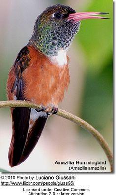 Amazilia Hummingbird (Amazilia amazilia)
