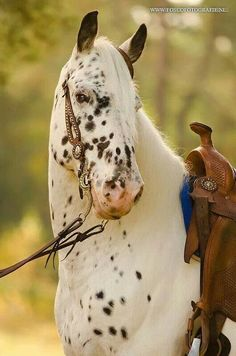 Appy indian horse Appaloosa horse equine native american pony leopard blanket spotted snow cap