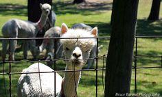 Llamas in Western Massachusetts ~ photography by Bruce Barone