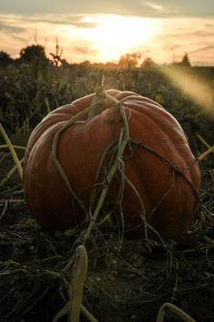The Copper Anchor & Co. Pumpkin picking at Willis Farm in Snowflake, AZ #harvest #autumn #thegreatpumpkin #thecopperanchor #fall #pumpkins