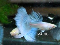 Lovely male blue 'albino' guppies.