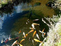 Koiteich (Regenbogenelritzen & Springbarsche) Tags: aquarium pond koi tier darter caeruleum schwarm aquaristik fischteich gartenteich zucht naturnah schwimmteich etheostoma notropis koiteich colorfire aquarienfisch chrosomus springbarsch rainbowshiner kaltwasserfisch teichfisch notropiszucht regenbogenelritzenzucht wildfische blauflossenorfe regenbogenorfe typwpcolorfire regenbogenshiner