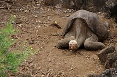 As tartarugas-gigantes prosperavam em Galápagos, mas a caça por sua carne e a introdução de animais domésticos acabaram por dizimar sua população. Essa é a história do Solitário George (Chelonoidis (nigra) abingdonii), o último sobrevivente da Ilha de Pinta, considerado o animal mais raro do mundo. Ele é um símbolo da luta pela conservação e morreu no dia 24 de junho de 2012, no Centro de Criação e Reprodução de Tartarugas Gigantes de Puerto Ayora.