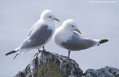 If you love nature please help us to defend it! Take two minutes and add your voice today #DefendNature #Kittiwakes