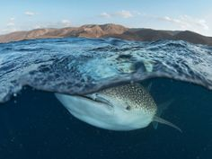 Photograph by Thomas P. Peschak    In winter young whale sharks come to feed on plankton in the nutrient-rich waters of the Gulf of Tadjoura, off the arid coast of Djibouti. The world's largest fish—weighing more than an elephant—is becoming a symbol of Arabia's bountiful, but largely unprotected, marine heritage.