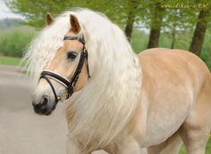 A Haflinger, every little girl's dream pony.