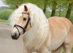 A Haflinger, every little girl's dream pony.