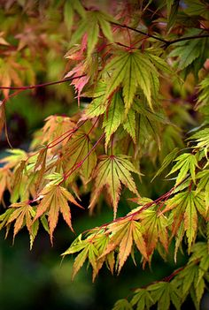 japonica maple leaves