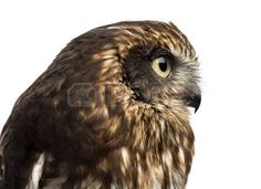 52988307-close-up-of-a-southern-boobook-ninox-boobook-in-front-of-a-white-background.jpg (450×327)