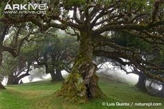 Ancient evergreen hardwood trees in laurel forest, Madeira