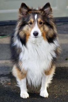 Shelties may be 6th place in smarts but they're definitely 1st in looks. http://ift.tt/25RoEoj