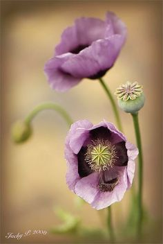 Purple flowers are a great way to add interest to your yard or landscape. Here are Different Types of Purple Flowers for Your Garden and Purple Flowers Meaning. Amazing Flowers, My Flower, Flower Power, Beautiful Flowers, Flower Tree, Beautiful Gorgeous, Beautiful Things, Purple Poppies, Purple Flowers