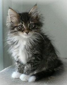 Norwegian Forest Cat kitten. - this could almost be our Ted as a kitten. :o) #NorwegianForestCat
