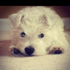 Westie puppy - Abby :) Westie Puppies, Westies, Dogs And Puppies, Awesome Dogs, Cute Dogs, Baby Animals, Cute Animals, Cutest Dog Ever, Cairns