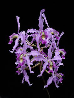 Laelia halbingeriana orchid