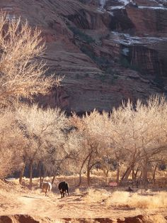 Cows in Canyon de Chelly, Navajo Reservation, Arizona
