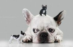 French Bulldog with Gulliver Syndrome by silvia