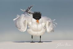 https://birdwildlifephotographyblog.files.wordpress.com/2014/10/royal-tern-thalasseus-maximus-fort-desoto-j.jpg