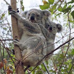 Koalas in the wild on Magnetic Island.