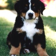 bernese mountain dog love, love,love these dogs. Bernese Mountain Puppy, Bernese Puppy, Cute Puppies, Cute Dogs, Dogs And Puppies, Doggies, Mountain Dog Breeds, Animals Beautiful, Cute Animals