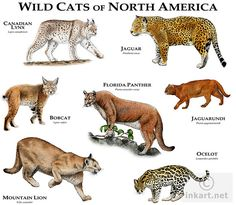 Wildcats of North America | Wild Cats of North America | Flickr - Photo Sharing!