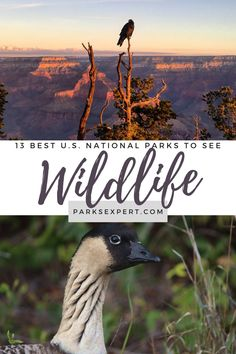 A list of 13 of our favorite national parks for wildlife sightings in the U.S. This includes everything from whales to birds in places like Acadia and Denali. | National Parks for Wildlife | #nationalparks Smoky Mountain National Park, Grand Teton National Park, Yellowstone National Park, Usa Travel, Travel Tips, Theodore Roosevelt National Park, Channel Islands National Park, Kenai Fjords, Viewing Wildlife