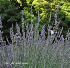 Butterflies love lavender!