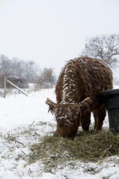Highland cattle | Homestead Meats | Madison, Wisconsin