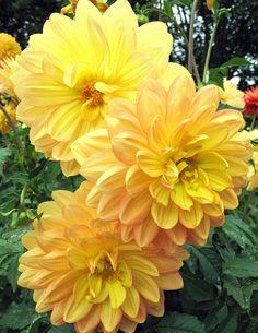 Dalia Color Amarillo