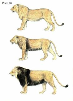 Barbary lion, Panthera leo leo