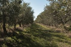 our olive trees path