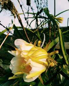 dragon fruit flower..