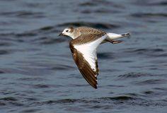 Sabines Gull | Endless Wildlife