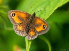 Big Butterfly, Saving Ideas, Horticulture, Gardening Tips, Garden Design, Butterflies, Insects, Wildlife, Gardens