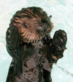 SEA OTTER BIRTH | Maggie the otter furball baby aquarium of the pacific