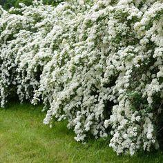 Spiraea 'Arguta' or Bridal Wreath