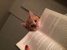 Gatos necesitados llamando la atención de sus dueños