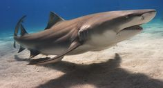 shark free images pictures