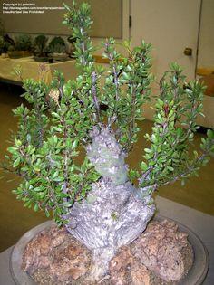 Full size picture of Fouquieria (iFouquieria fasciculata/i)