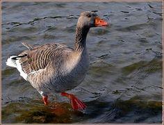 Oie cendrée gard (en appel mai à l'écart des canards)