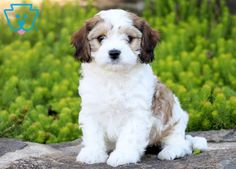This Cavachon puppy is a real show-stopper with her good looks and amazing personality! She is a very social and friendly little thing who loves to cuddle Cavachon Puppies, Thing 1, Puppies For Sale, Cuddle, Dog Lovers, Puppy Pictures, 1 Year, Empty, Dogs