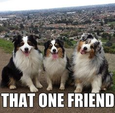 The one that stands out - i has a hotdog - dog pictures - funny Aussie Dogs, Australian Shepherd Dogs, English Shepherd, Funny Dogs, Funny Animals, Cute Animals, Animal Funnies, Cute Puppies, Cute Dogs