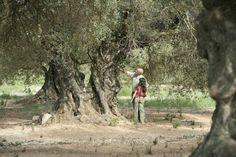 El olivo dónde estará mi árbol?