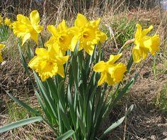 Narcissus/keltanarsissi (pääsiäislilja)