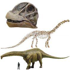 Brontosaurio - Aunque muy conocido con el nombre de Brontosaurus, sería más correcto llamarlo Apatosaurus, ya que éste fue el nombre con el que fue bautizado en primer lugar, se trataba de un saurópodo de cabeza pequeña y morro achatado con cuello extremadamente grueso. Debió pesar 30 toneladas. Su cabeza medía unos 55 cm de largo. Este diplócido, aunque no era tan largo como el diplodocus, era mucho más corpulento, ya que se estima que debió pesar tres veces más que éste. Longitud: 21…