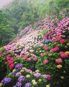 Non ducor, duco Hortensia Hydrangea, Hydrangea Garden, Hydrangea Flower, Miyazaki, Beautiful Gardens, Beautiful Flowers, Japanese Garden Design, How To Attract Birds, Arte Floral